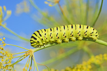 Caterpillar Of  Papilio Machao...