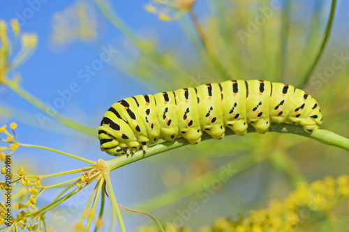 Caterpillar of  Papilio machaon, the Old World swallowtail. Caterpillar feeding on dill. The butterfly Papilio machaon is also known as the common yellow swallowtail or simply the swallowtail.