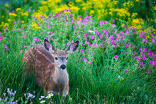 Young Spotted Deer In Meadow Of Flowers