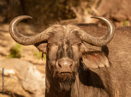 A single cape buffalo looks at the photographer
