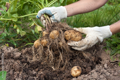 hands of gardener with digging bush potato Fototapeta