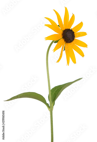 Obraz na plátne  black eyed susan isolate on white background