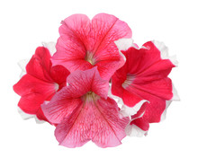 Pink And Red Petunia Isolate O...