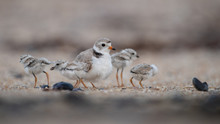 Piping Plover Chicks With Female