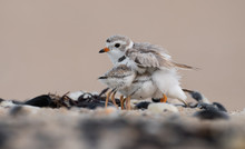 Piping Plover Chicks With Mom
