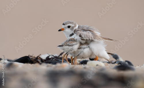 Piping Plover Chicks with Mom Fototapeta