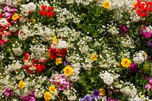 Varie Specie Di Fiori E Flora Alpina, Giardino Botanico Del Castel Savoia, Gressoney-Saint-Jean, Aosta, Valle D'Aosta, Italia