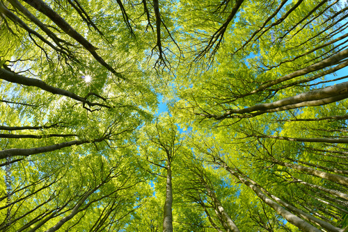Beech Trees Forest from below, Early Spring, fresh green leaves - 219080462
