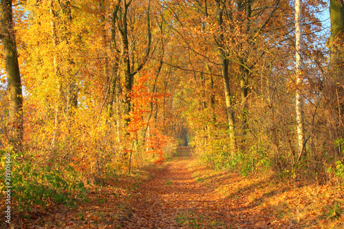 Aluminium Prints Autumn Golden autumn day. Beautiful view of a forest path with autumn trees, Lüneburg Heath. Northern Germany