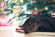 Gray Cat Sleeps Under The Chri...