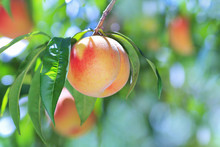 Ripe Peach Close-up With Peach Orchard In The Background.