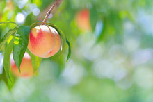 Ripe Peach With Peach Orchard In The Background.