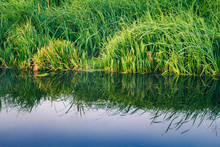 Green Bulrush Water Plants On ...