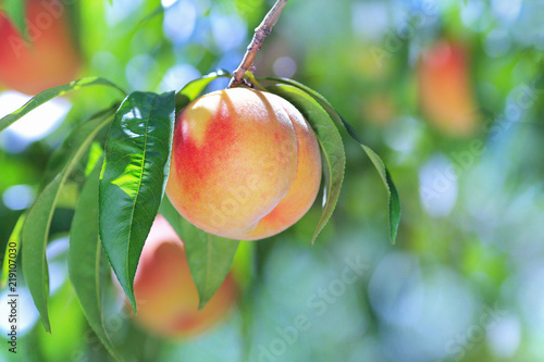Fotografía Ripe peach close-up with peach orchard in the background.