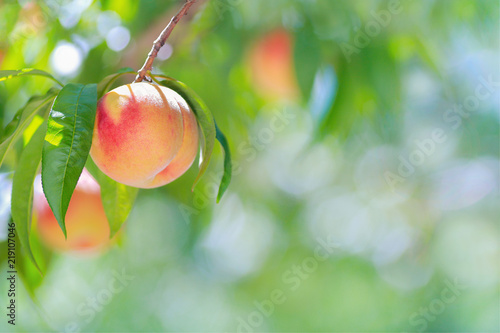 Fototapeta Ripe peach with peach orchard in the background.