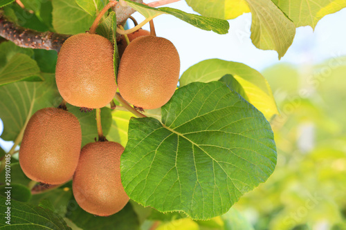 Ripe kiwi on a branch with a kiwi plantation in the background. Wallpaper Mural