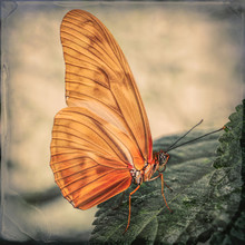 Butterfly, Orange With Texture...