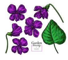 Violet Flower Drawing. Vector Hand Drawn Floral Set. Viola Sketch. Wild Botanical