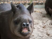 Cute Tapir Animal