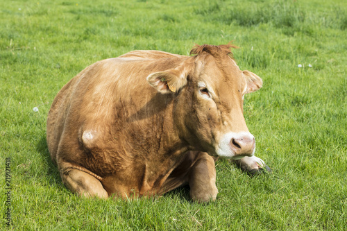 The red cow lies on the grass Canvas Print