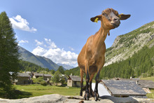 Brown Goat In The Top Of A Rock In Front Of A Alpine Village