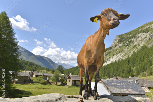 Leinwand Poster brown goat in the top of a rock in front of a alpine village