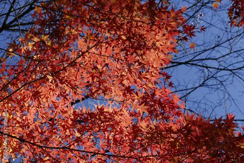 Keuken foto achterwand Rood paars Erable du japon