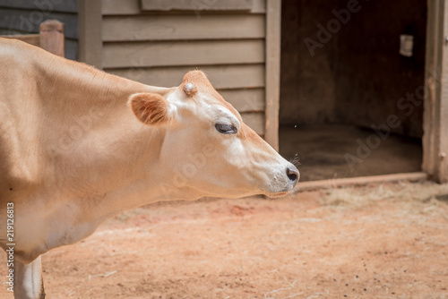 Photo  Brown Cow