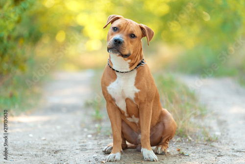 Obraz Strong and beautiful American staffordshire terrier portrait - fototapety do salonu