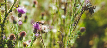 Pink Milk Thistle Flowers In W...