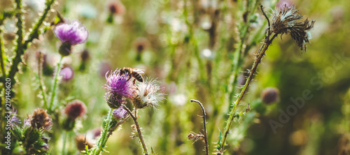 Pink milk thistle flowers in wild natur with bee collecting pollen, Silybum mari Canvas Print