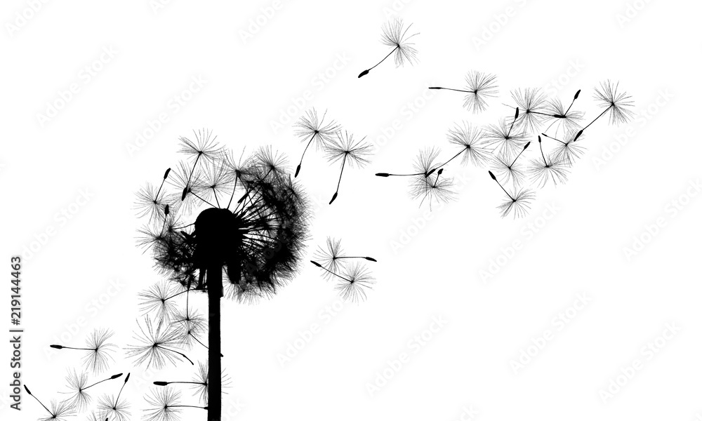 Fototapety, obrazy: Close up of grown dandelion and dandelion seeds isolated on
