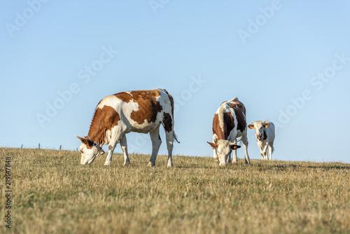 Poster de jardin Vache Vaches dans les prés