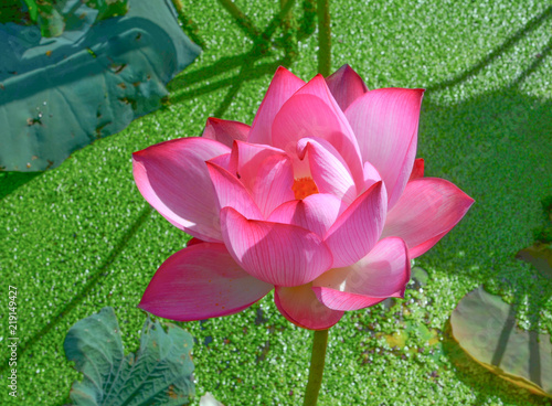 Staande foto Lotusbloem lotus on water background.