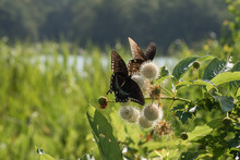 Butterfly Duo On Buttonbush Blooms With Lake And Trees Background