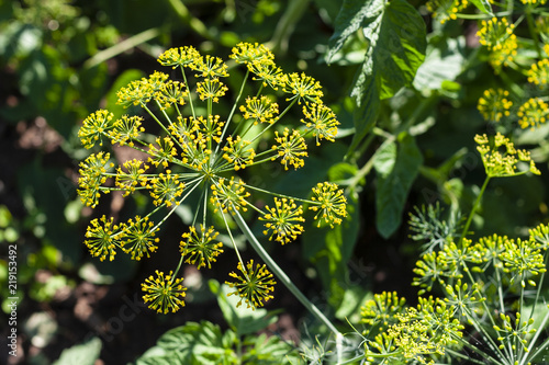 Stampa su Tela Inflorescence of dill, close-up