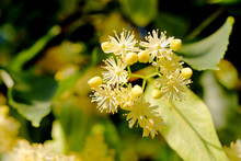 Blossoming Linden Tree (lime Tree). Linden Blossom