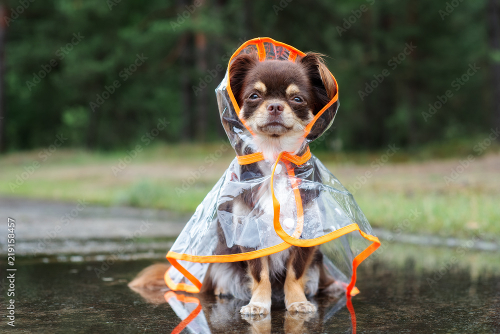 chihuahua dog sitting in a puddle in rain coat