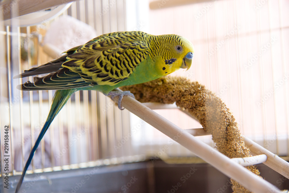 Parrot eats from dry ear grass. Cute green budgie sits in cage