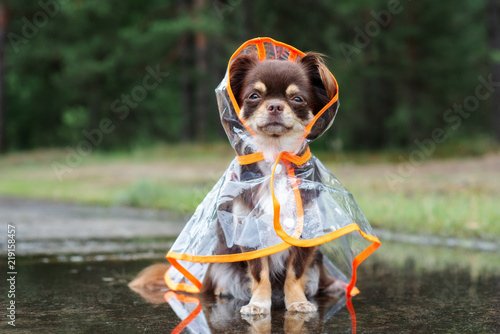 chihuahua dog sitting in a puddle in rain coat Canvas Print