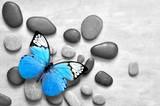 Fototapeta Kamienie - Blue butterfly on spa stone grey background.