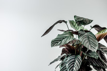 Dark Green Leaves Home Plant Against White Wall. Copyspace For Text. Creative Blogging Layout