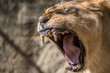 Leão / Lion (Panthera leo)