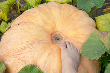 The Male Foot Steps On A Large Yellow Pumpkin In The Garden. A Homemade Organic Yellow Gourd Grows On A Farm Among The Green Thickets. Organic Pumpkin For Making Tasty And Healthy Porridge. Close-up.