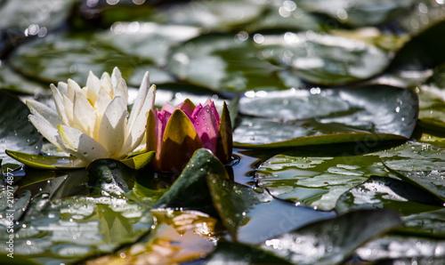 Poster Waterlelies Seerose im Gegenlicht