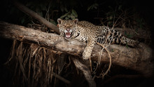 American Jaguar On A Tree Trun...