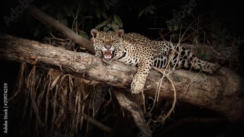 Photo Stands Panther American jaguar on a tree trunk in the darkness of brazilian jungle. Panthera onca. Wild brasil. Brasilian wildlife. Pantanal. Green jungle. Big cats and dark background.
