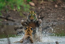 Two Male Tigers Fighting For T...