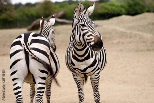 Plakat Portret afrykańskie pasiaste żakiety zebry
