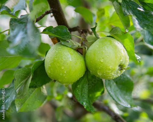 Fototapeta jabłko sliczne-jabluszka-na-drzewie